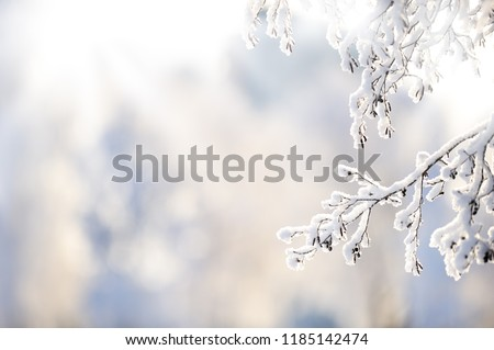 Snow covered alder tree (Alnus glutinosa) branch against defocused background. Selective focus and shallow depth of field.
