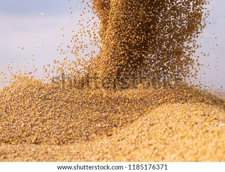 Pouring soy bean grain into tractor trailer after harvest #1185176371