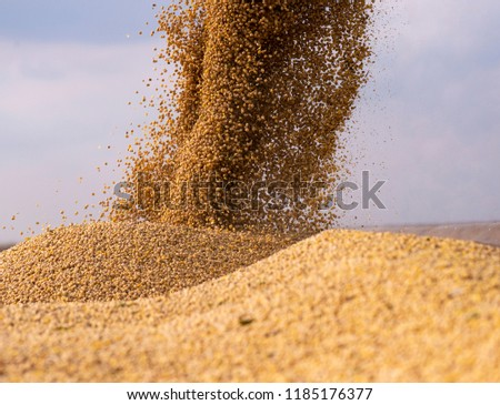 Pouring soy bean grain into tractor trailer after harvest #1185176377