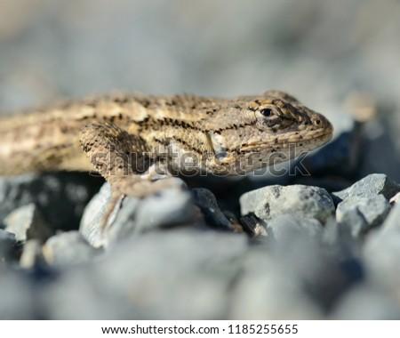 Western Fence Lizard #1185255655