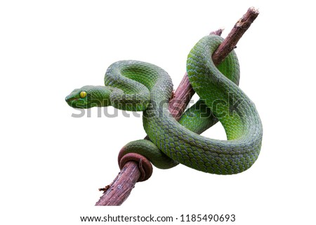 Large-eyed Green Pitviper or Green pit vipers or Asian pit vipers, green snake on branch with white background in Thailand and clipping path. Royalty-Free Stock Photo #1185490693