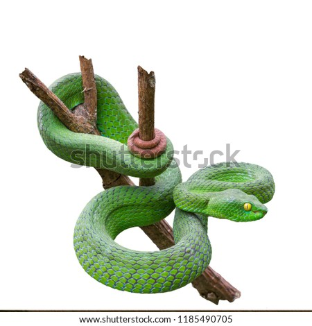Large-eyed Green Pitviper or Green pit vipers or Asian pit vipers, green snake on branch with white background in Thailand and clipping path. #1185490705
