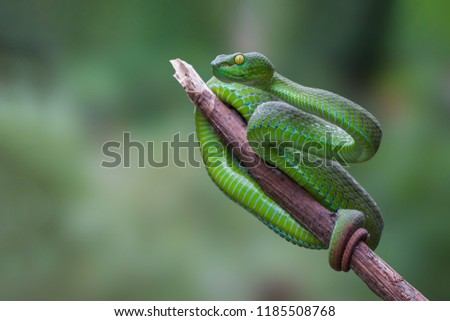 Large-eyed Green Pitviper or Trimeresurus [Cryptelytrops] macrops Krammer or Green pit vipers or Asian pit vipers, green snake on branch with green background in Thailand. #1185508768