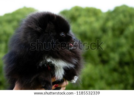 Puppy Pomeranian Spitz with its owner. Young energetic dog on a walk.  #1185532339
