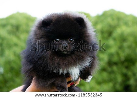 Puppy Pomeranian Spitz with its owner. Young energetic dog on a walk.  #1185532345