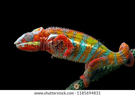 Beatiful color of chamelon on branch with black background #1185694831