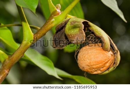 Ripe nut of a Walnut tree, nut, husk and leaves  #1185695953