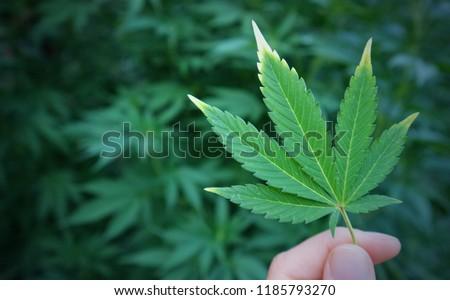 Cannabis marijuana green leaf in hand on cannabis blur leaves background