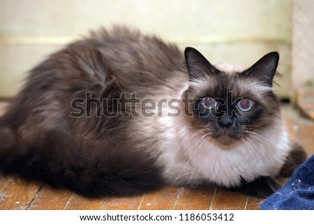 a beautiful Neva Masquerade cat. It is a subspecies of the Siberian cat. #1186053412