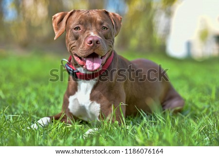 brown pit bull terrier with not cropped ears