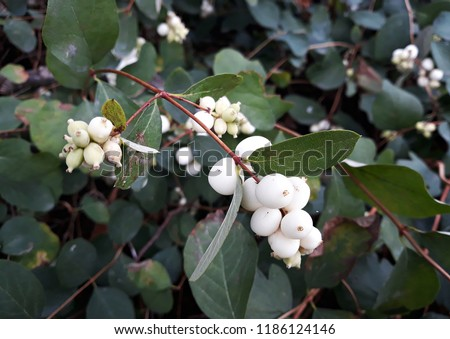 Branches with white berries of Symphoricarpos albus, commonly known as the snowberry, in the garden.   #1186124146