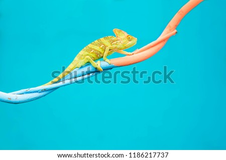 Abstract animal background, Agamidae animal wildlife, The cute chameleon is change two color on the tree. #1186217737