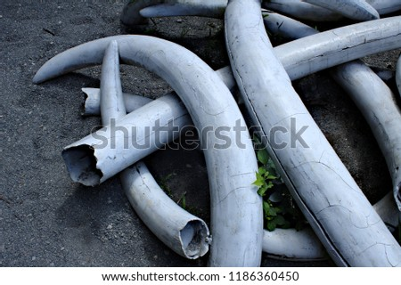 Replicated Artificial Ivory Elephant Tusk Pile on Grey Dusty Ground #1186360450