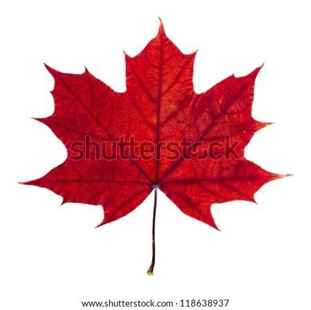 Autumn maple leaf isolated on white background #118638937