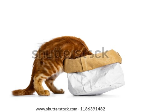 Handsome funny red Maine Coon cat kitten climbing in /disappear / looking / searching for something in a paper bag, isolated on white background #1186391482
