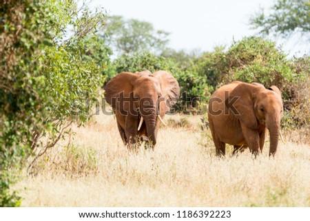 Elephants in Kenya, Africa #1186392223