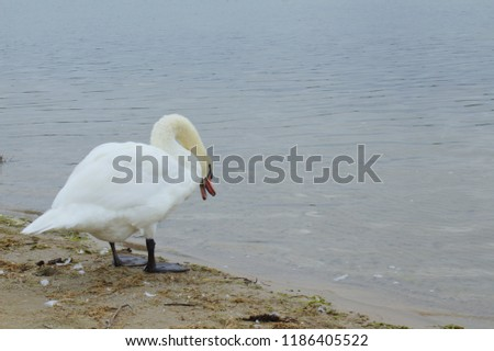 Lone White Mute Swan Standing on a Dingy Beach Looking Down at Water and Hissing #1186405522