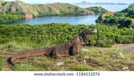 Komodo dragon in natural habitat. Scientific name: Varanus komodoensis. Natural background is Landscape of Island Rinca. Indonesia. #1186512076
