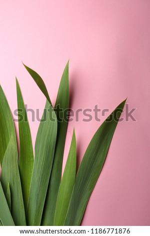 Iris leaves on pink background #1186771876