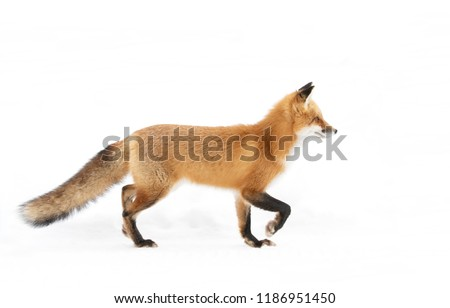 Red fox Vulpes vulpes with a bushy tail   and orange fur coat isolated on white background hunting through the freshly fallen snow in winter in Algonquin Park, Canada