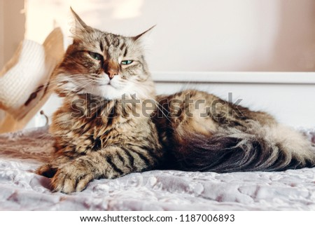 Beautiful  Maine coon cat with green eyes resting on soft bed in sunny evening light. Tabby fluffy cat with funny emotions relaxing in white stylish room. Cat portrait. Space for text #1187006893