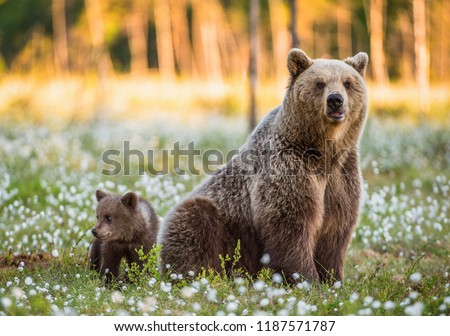 She-bear and bear-cub. Cub and Adult female of Brown Bear  in the forest at summer time. Scientific name: Ursus arctos. #1187571787