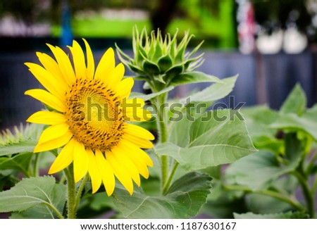 Yellow sunflowers are blooming in the morning. Flowers are left behind, blurred. Big green leaves look beautiful.  Planted lined in the park. #1187630167