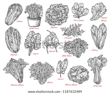 Leaf vegetable and salad vector sketch . Spinach, iceberg and romaine lettuce, chinese cabbage, chicory and corn salad, arugula, chard and sorrel, bok choy, watercress and batavia sketches #1187632489