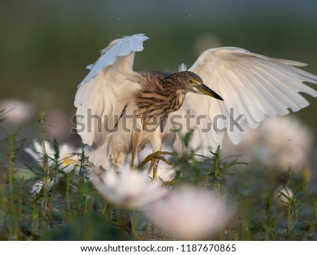 Indian Pond heron in water lillies pond  #1187670865
