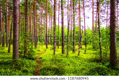 Pine tree forest background. Green pine tree forest view. Pine tree forest scene. Forest pine trees background #1187680945