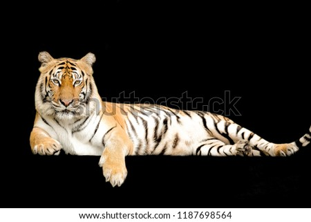 Bengal Tiger in forest show head and leg isolated on black background