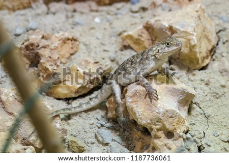 Bibron's agama sitting on a rock #1187736061