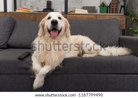 cute golden retriever lying on couch with tv remote control and looking at camera #1187799490