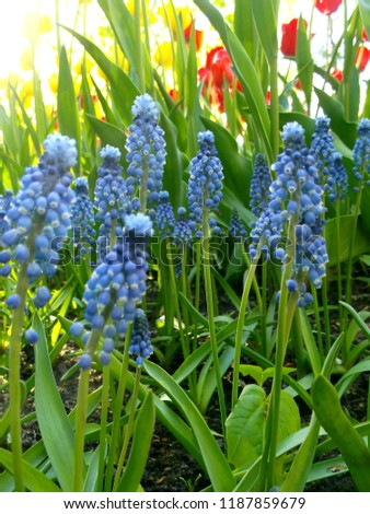 Muscari. Little blue flowers. Sunlight spreads over the grass in the background. #1187859679