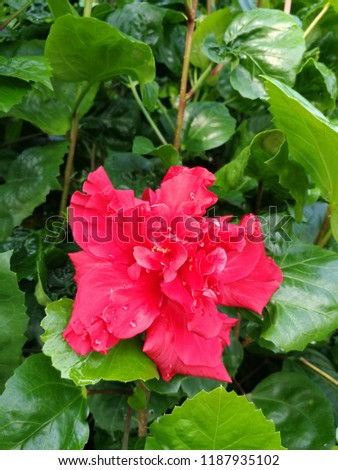 Close up red petals hibiscus or shoe flower and green leaves background  #1187935102