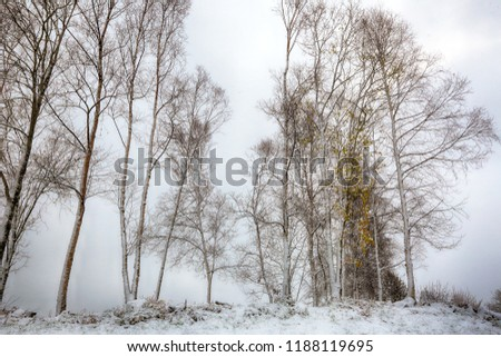 Birches covered with snow after first snow storm in October  #1188119695