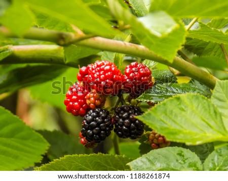 Blackberry fruit on a branch. #1188261874