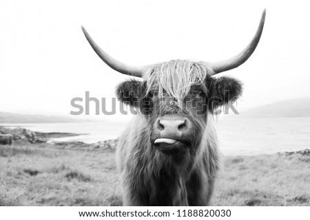 Black and White, Scottish Highland Cow on Isle of Mull Royalty-Free Stock Photo #1188820030
