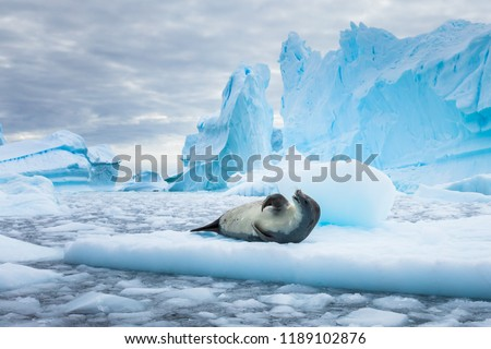 Crabeater seal (lobodon carcinophaga) in Antarctica resting on drifting pack ice or icefloe between blue icebergs and freezing sea water landscape in the Antarctic Peninsula #1189102876