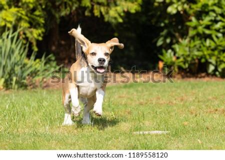 beagle running in the garden  #1189558120