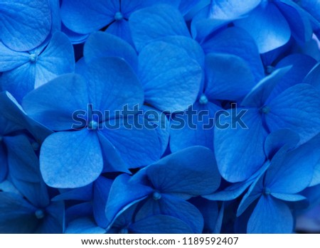 Blue Hydrangea background. Hortensia flowers surface. #1189592407