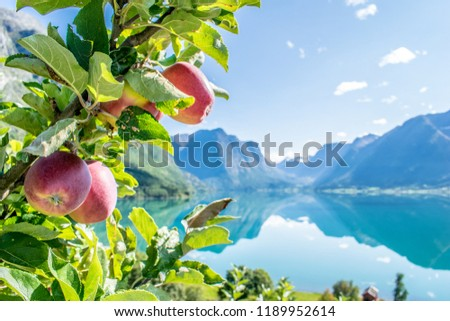 Apples in right conditions . Photo from Flo, towards the valley of Erdal , in Oppstryn , in Norway .  #1189952614