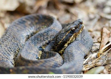 Cottonmouth on forest floor #1190032039