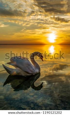 White swan sunset water scene. Sunset swan reflection in water. Sunset swan silhouette. Swan sunset reflection water #1190121202