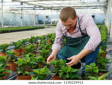 Farmer checking quality of Poinsettia pulcherrima seedlings in greenhouse farm #1190239921