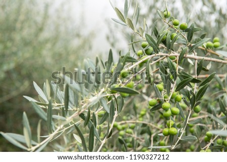 Olive trees in fog morning. Olive trees garden. Mediterranean olive field ready for harvest. Italian olive's grove with ripe fresh olives. Fresh olives. Olive farm. #1190327212