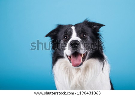adorable portrait of amazing healthy and happy adult black and white border collie in the photo studio on the blue background  #1190431063