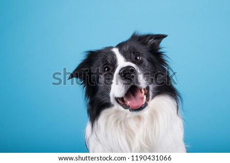 adorable portrait of amazing healthy and happy adult black and white border collie in the photo studio on the blue background  #1190431066
