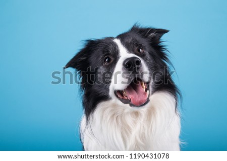 adorable portrait of amazing healthy and happy adult black and white border collie in the photo studio on the blue background  #1190431078