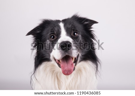 adorable portrait of amazing healthy and happy adult black and white border collie in the photo studio on the white background  #1190436085